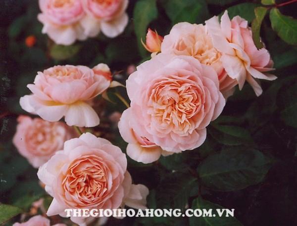 Hoa hồng bụi Juliet