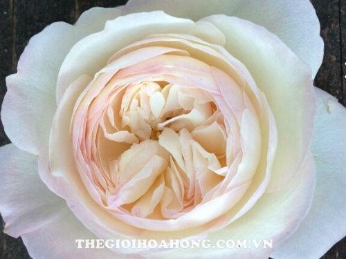 Hoa hồng bụi Keira