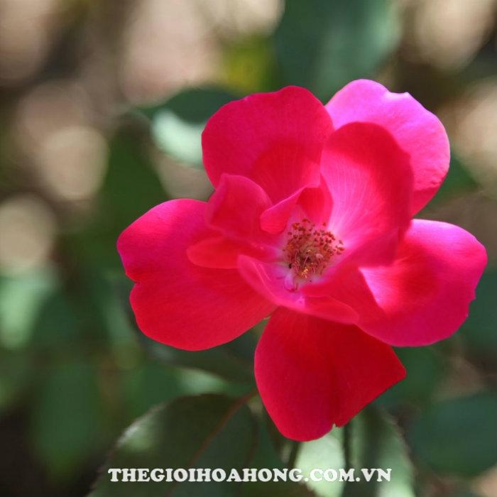 Hoa hồng bụi Knock Out