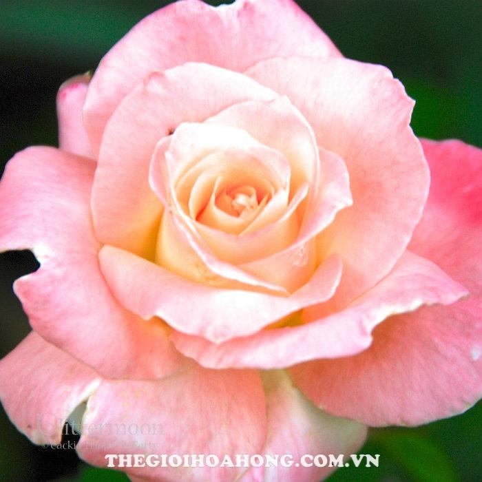Hoa hồng bụi Lady Diana