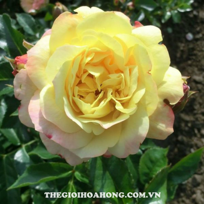 Hoa hồng bụi Lampion