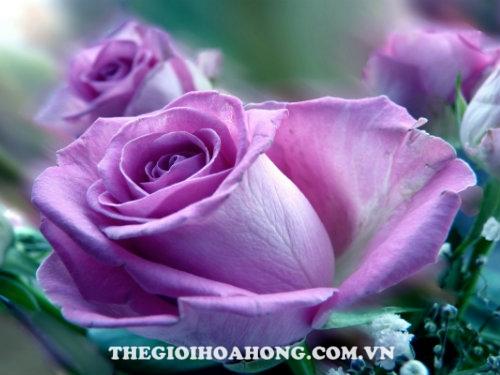 Hoa hồng bụi Lilac