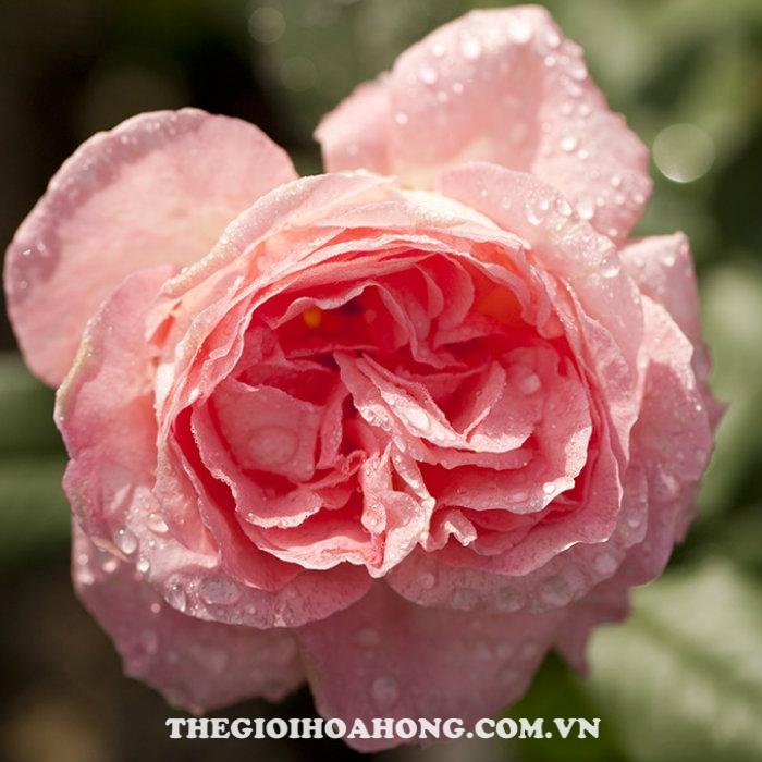 Hoa hồng bụi Liv Tyler