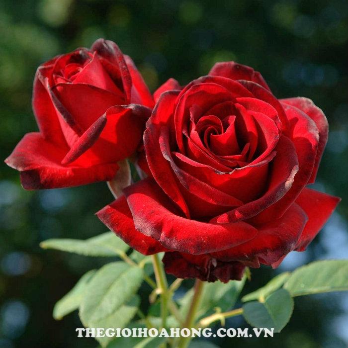 Hoa hồng bụi Me Delbard