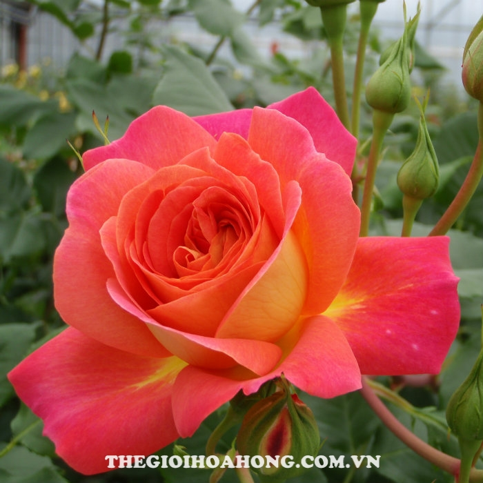 Hoa hồng bụi Midsummer