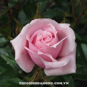Hoa hồng bụi New zealand