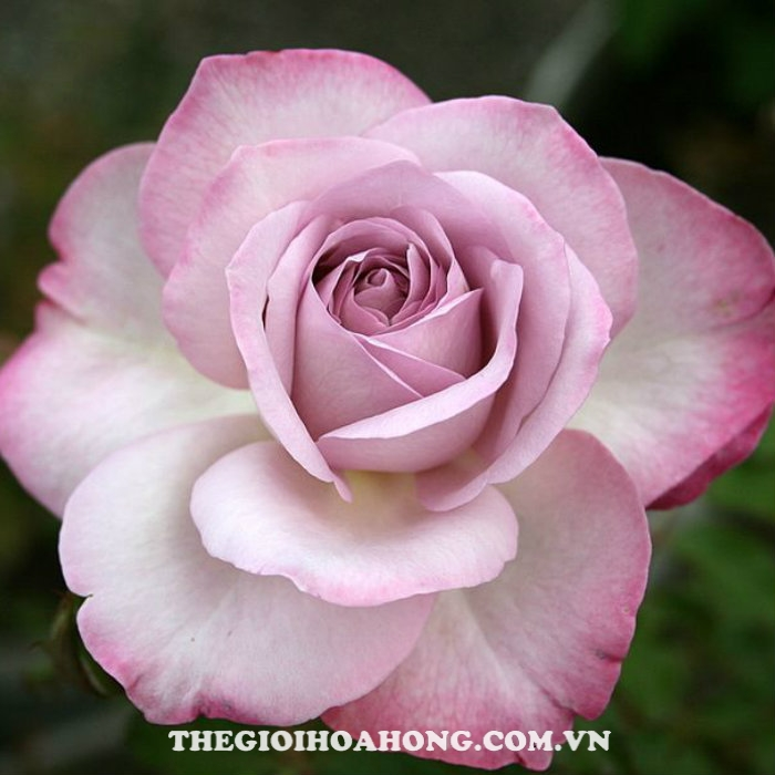 Hoa hồng bụi Nicole Carol Miller