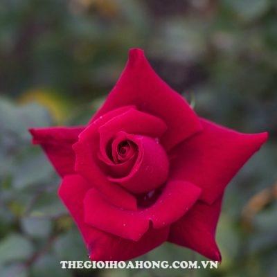 Hoa hồng bụi Osaka