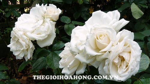 Hoa hồng bụi Princess Of Wales