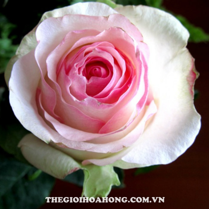 Hoa hồng bụi Senorita