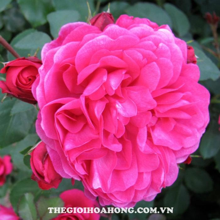 Hoa hồng bụi Sir John Betjeman