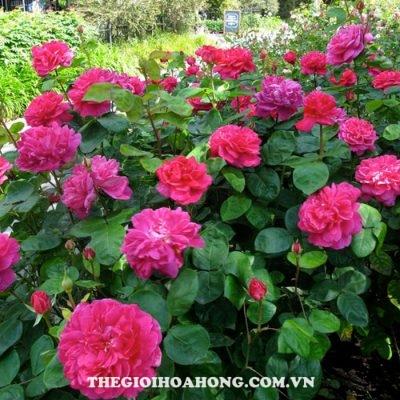 Hoa hồng bụi Sophy''s