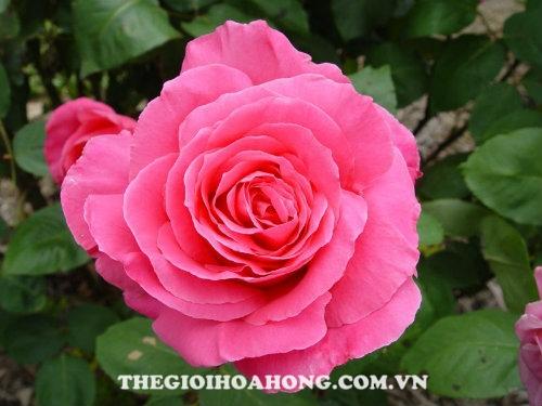 Hoa hồng bụi Susan Hampshire