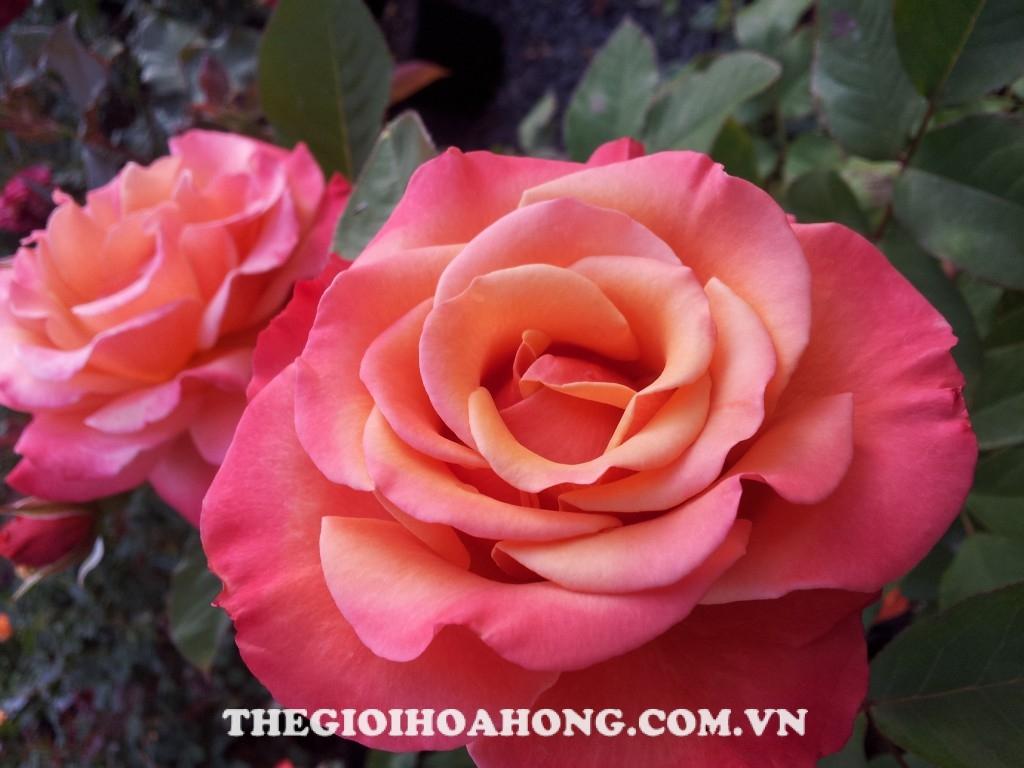 Hoa hồng bụi Tuscan Sun