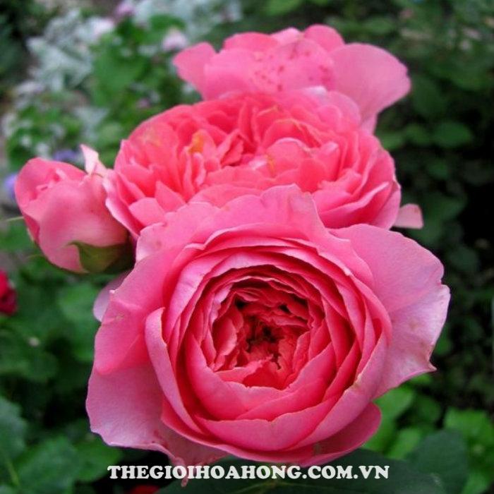 Hoa hồng bụi amandine chanel