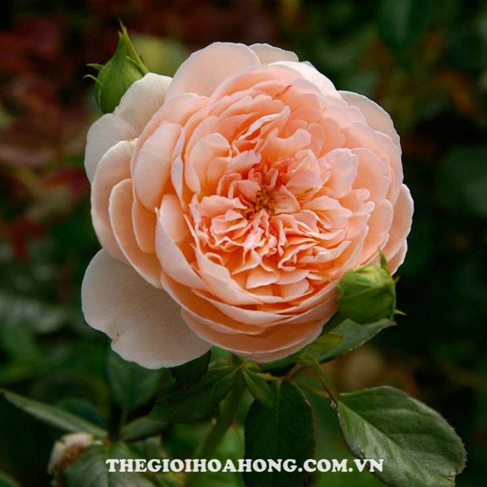 Hoa hồng bụi ambridge