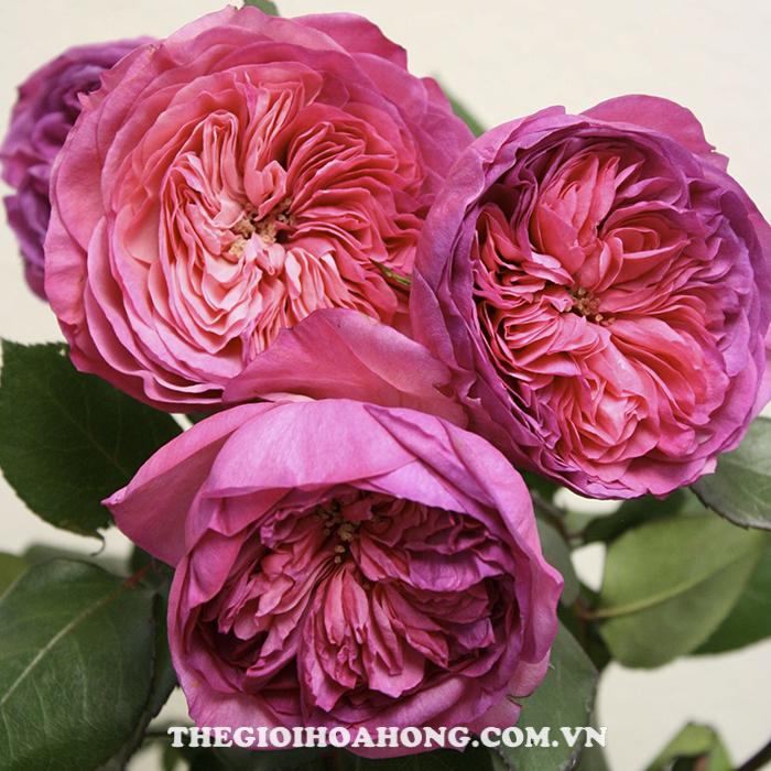 Hoa hồng bụi baronesse