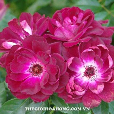 Hoa hồng bụi burgundy iceberg