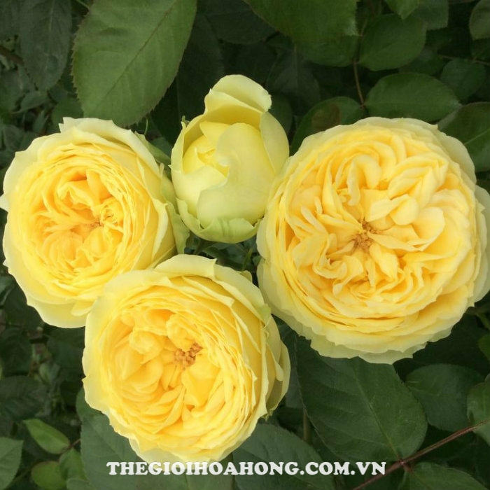 Hoa hồng bụi catalina spray