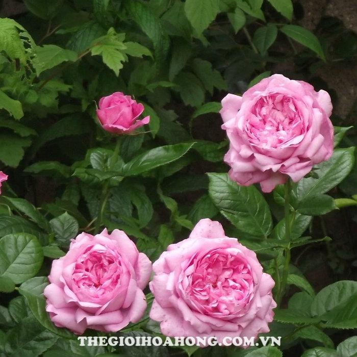 Hoa hồng bụi chantal merieux