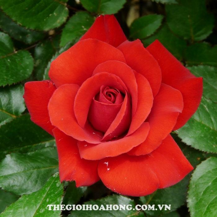 Hoa hồng bụi crimson bouquet