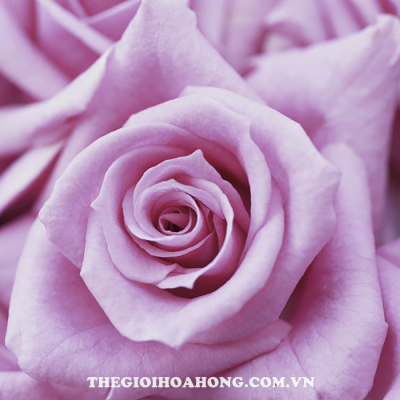 Hoa hồng bụi deliah