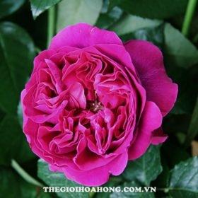 Hoa hồng bụi kate