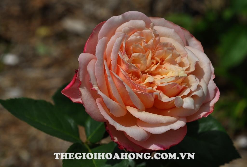 Hoa hồng bụi kordes jubilee