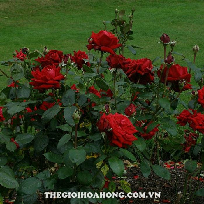 Hoa hồng bụi madame louis laperrirère