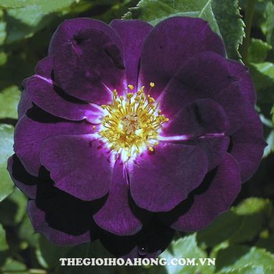 Hoa hồng bụi midnight blue