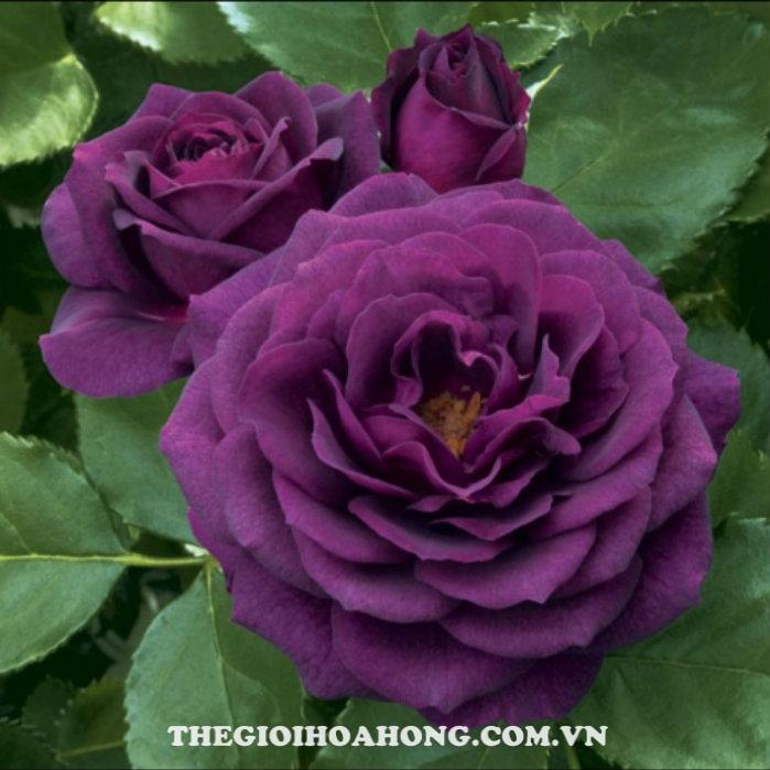 Hoa hồng bụi midnight blue2
