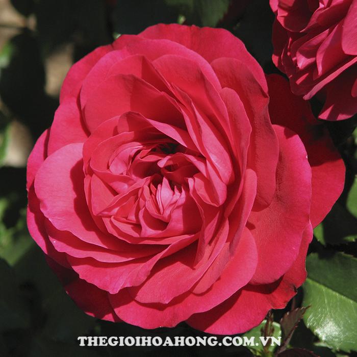 Hoa hồng bụi mona lisa