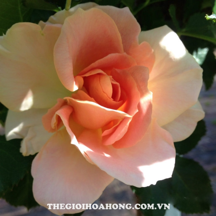 Hoa hồng bụi peach profusion1