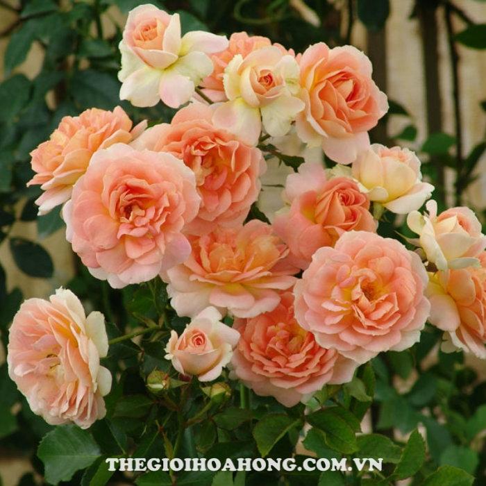Hoa hồng bụi munstead wood