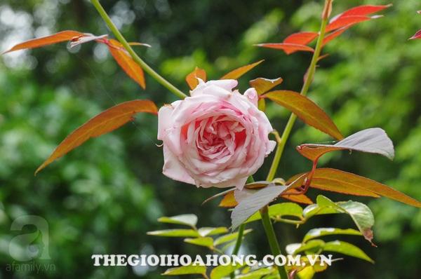 Hoa hồng bụi rosalind