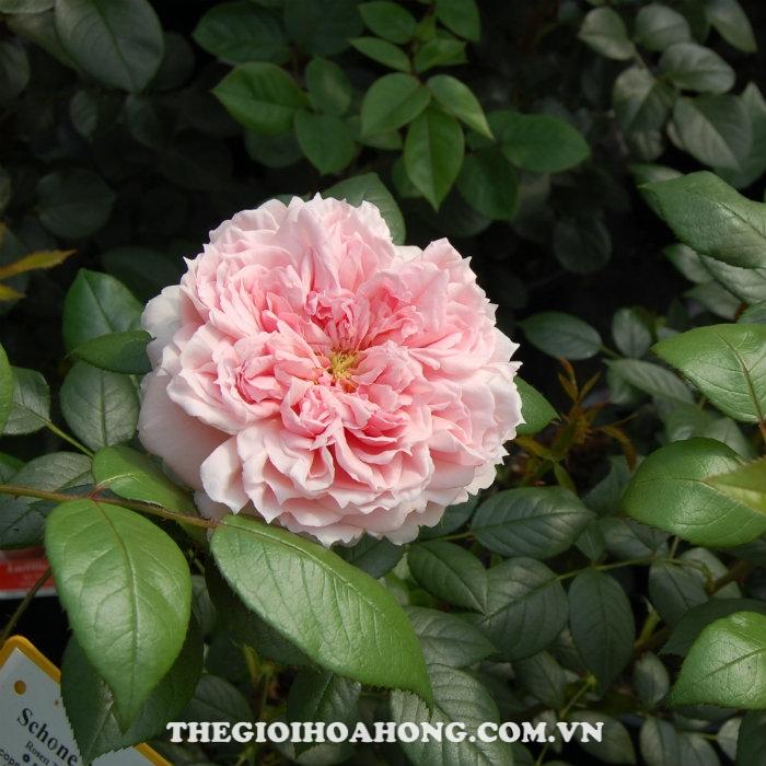 Hoa hồng bụi schone maid
