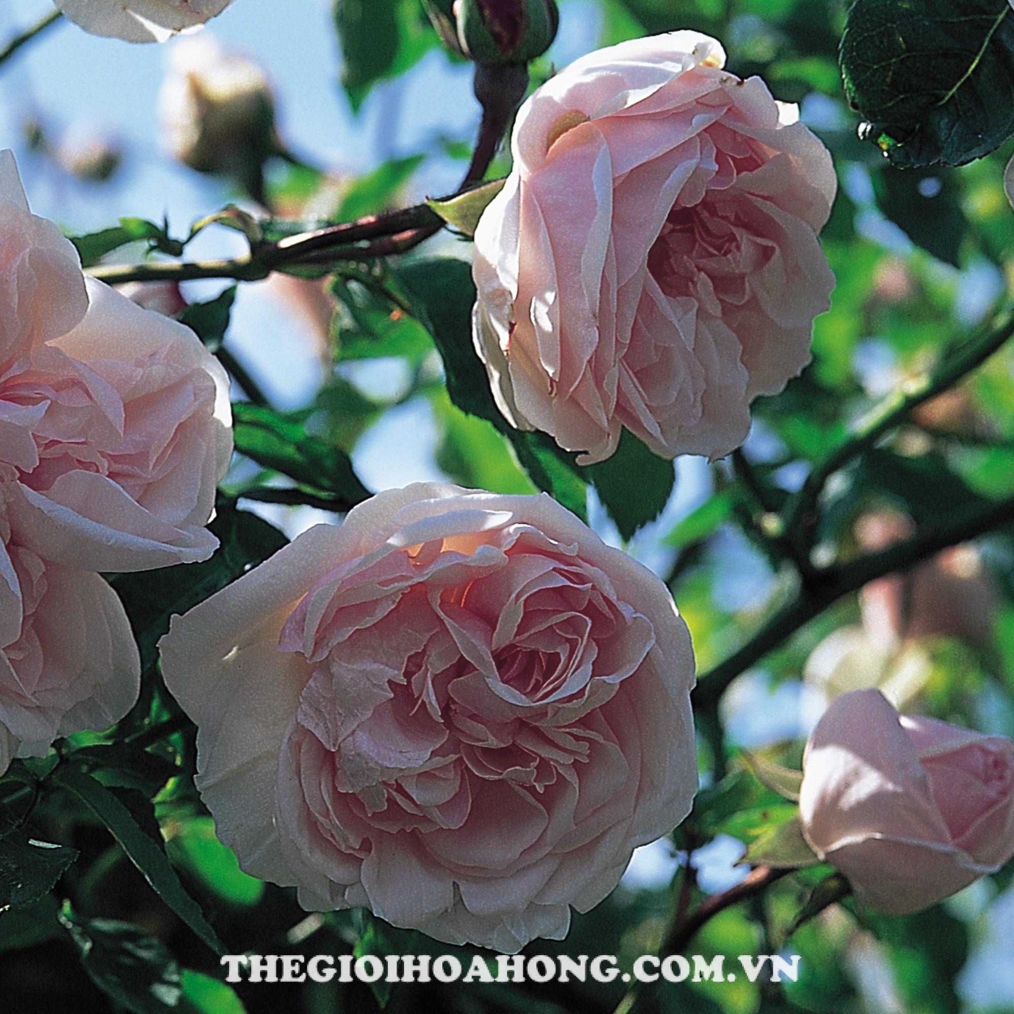 Hoa hồng bụi souvenir de malmarson