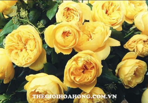 Hoa hồng bụi souvenir de marcel proust