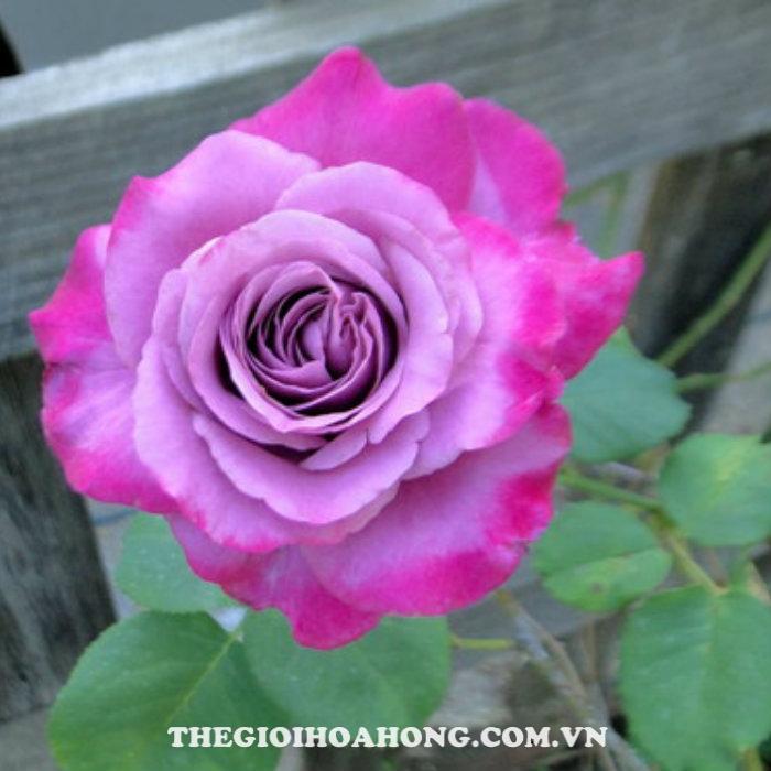 Hoa hồng bụi spell caster