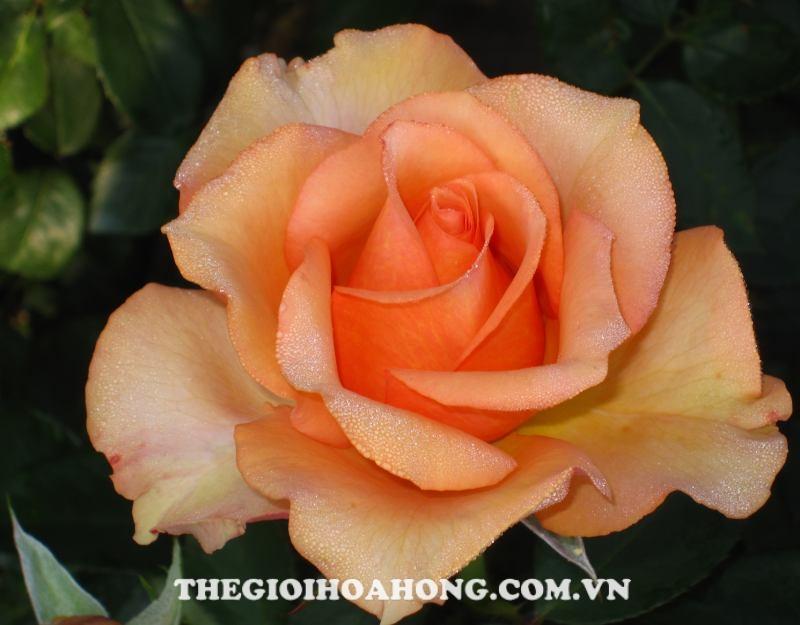 Hoa hồng bụi sunstruck