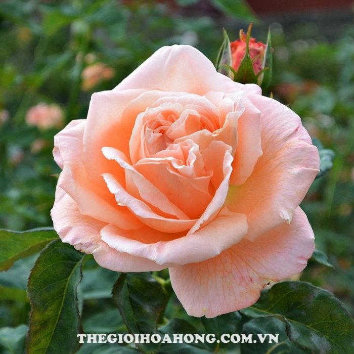 Hoa hồng bụi susana tamaro