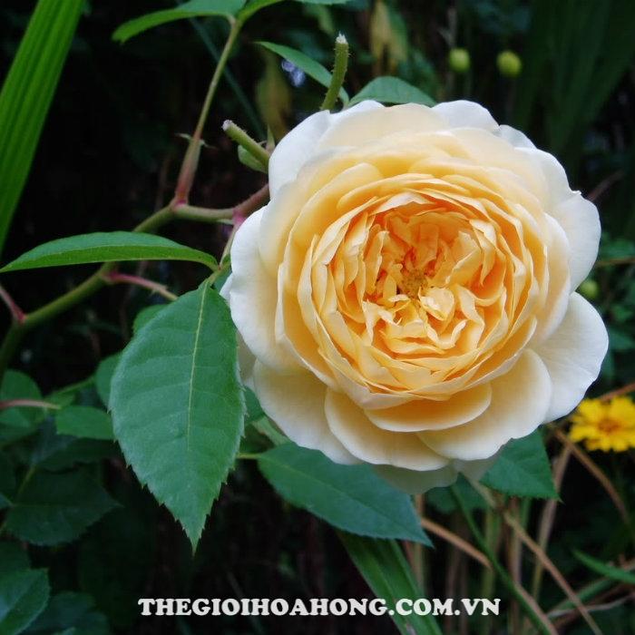 Hoa hồng bụi sweet caitlin