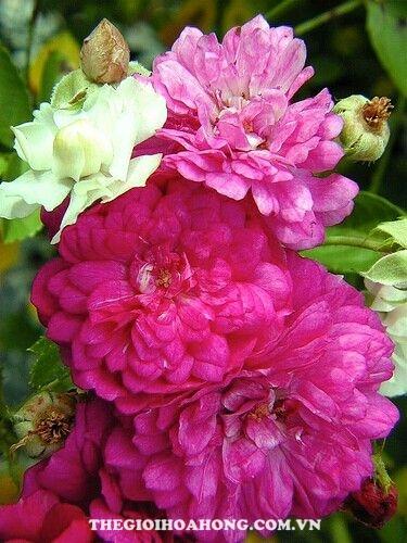 Hoa hồng bụi sweet chariot