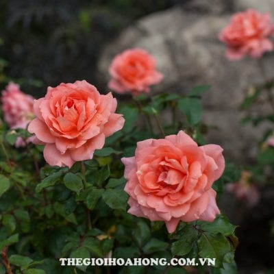 Hoa hồng bụi sweet fragrance