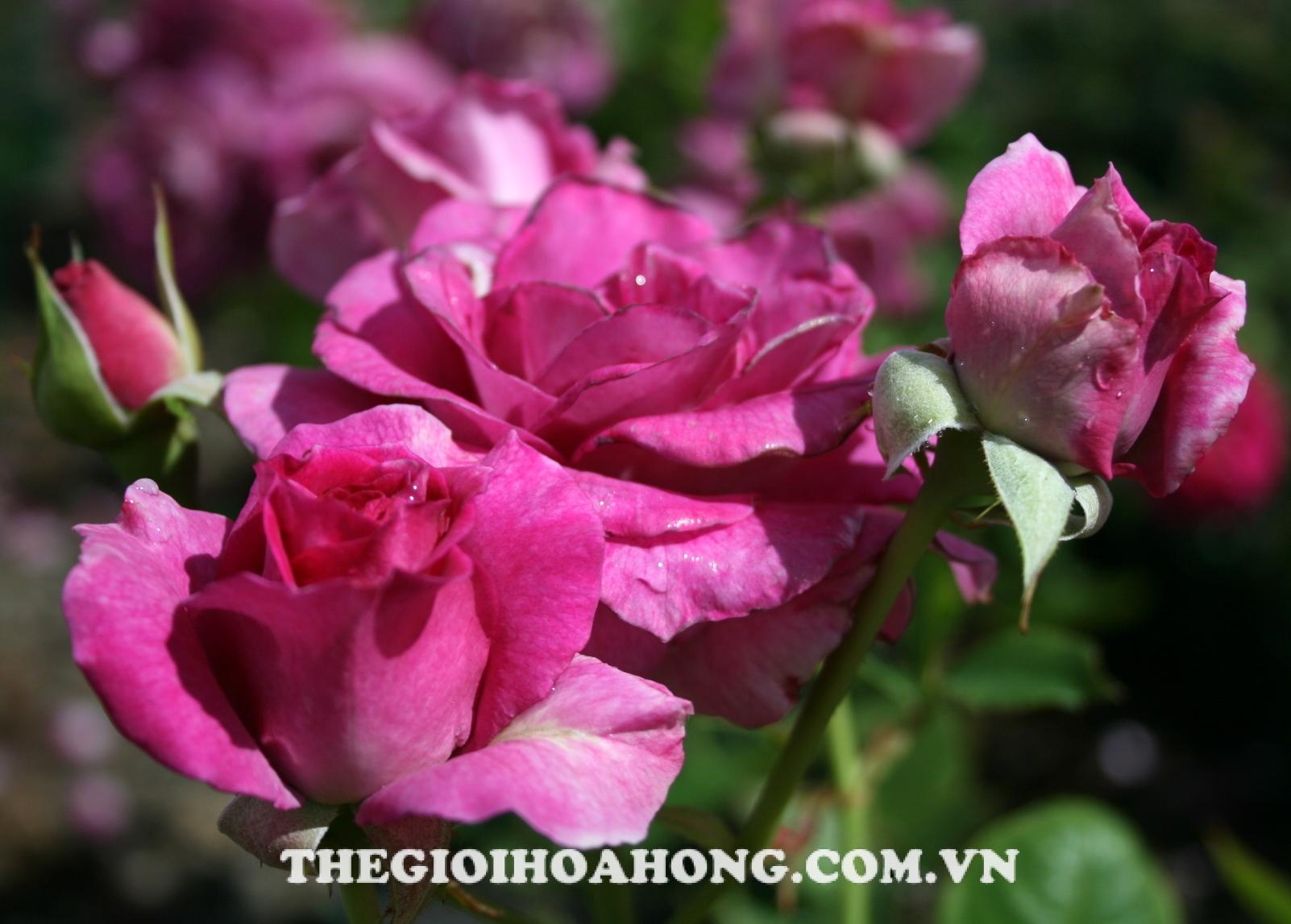 Hoa hồng bụi sweet intoxicantion