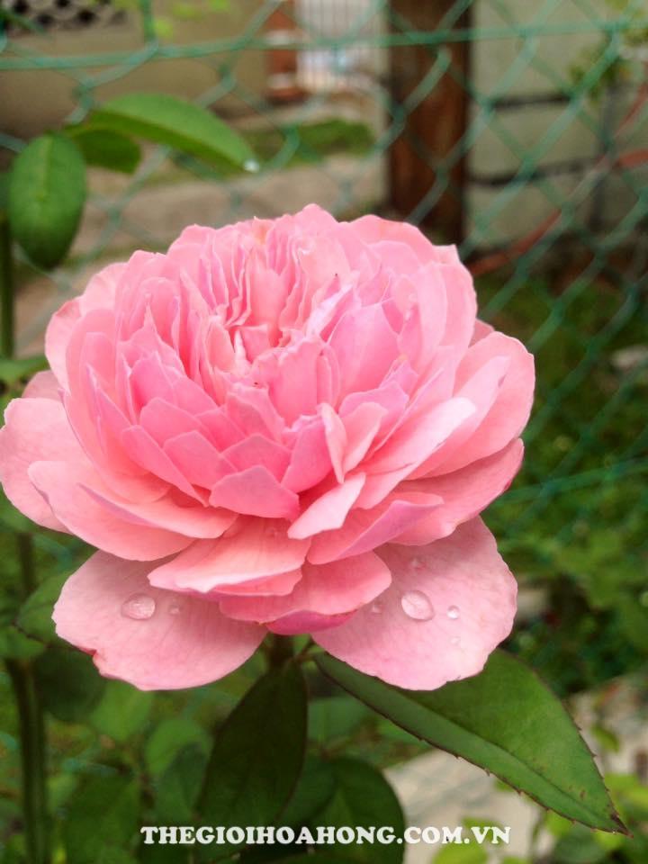 Hoa hồng bụi the alnwick