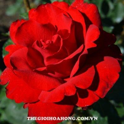 Hoa hồng bụi the opening night