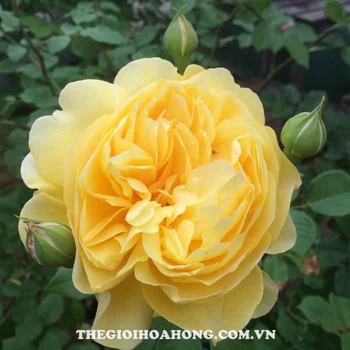Hoa hồng bụi the poet''s wife