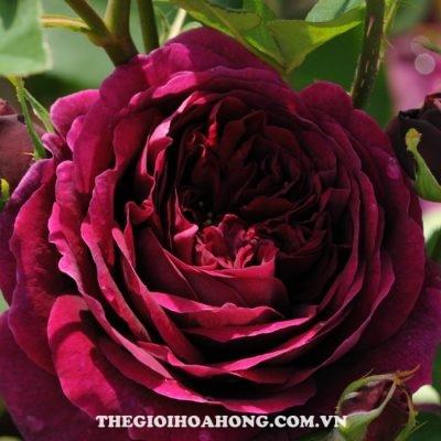 Hoa hồng bụi the prince