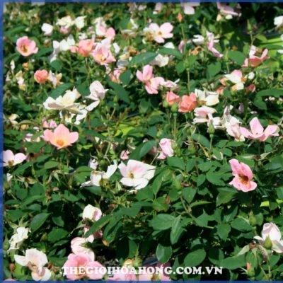 Hoa hồng bụi the rainbow knock out